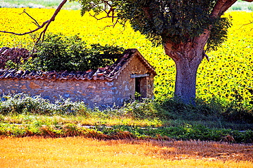 Europe, France, Alpes-de-Haute-Provence, 04, Regional Natural Park of Verdon, Valensole. Shed in a field of sunflowers.