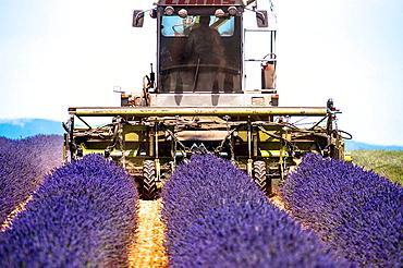 Europe, France, Alpes-de-Haute-Provence, 04, Regional Natural Park of Verdon, Valensole. Harvest lavender.