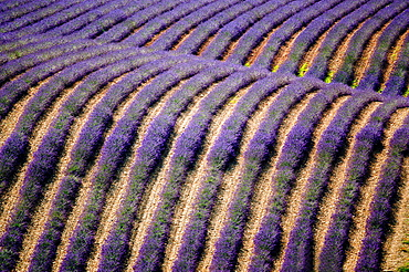 Europe, France, Alpes-de-Haute-Provence, 04, Regional Natural Park of Verdon, Valensole field of lavender.