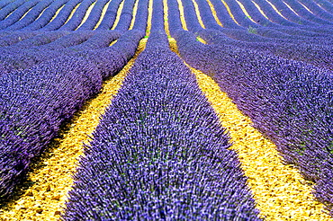 Europe, France, Alpes-de-Haute-Provence, 04, Regional Natural Park of Verdon, Valensole. Field of lavender.