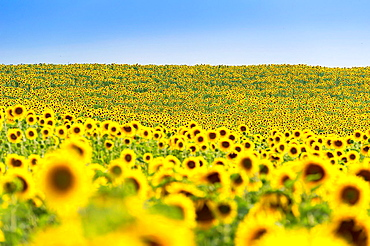 Europe, France, Alpes-de-Haute-Provence, 04, Regional Natural Park of Verdon, Valensole. Field of sunflowers.
