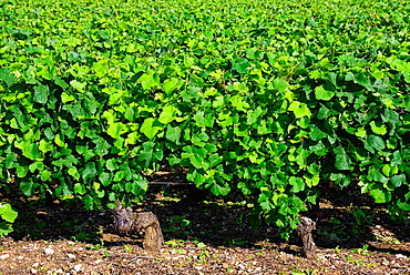 vineyards, Beaune, Department of Cote d'Or, Burgundy, France, Europe.