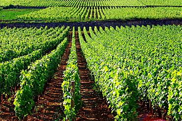 vineyards, Beaune, Cote de Beaune, Cote d'Or, Burgundy, France.