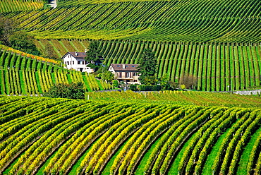 Rows of grape bushes around residential buildings, Aubonne, a village in the midst of the vineyards, well-known for its high quality wine, district of Morges, canton Vaud, Romandy, the French-speaking part of Switzerland