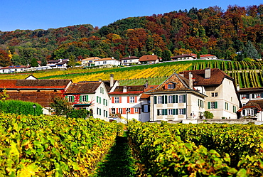 Houses of village Mont-sur-Rolle surrounded by vineyards, the area is famous for its wine-making, vineyards fields and wines with distinctive fizzy-fruit flavor , autumn scene, Romandy, French speaking part of Switzerland, district of Nyon, canton Vaud