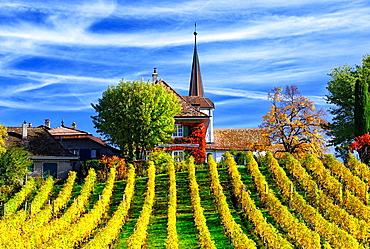 vineyards in autumn, Fechy, canton Vaud, Switzerland.