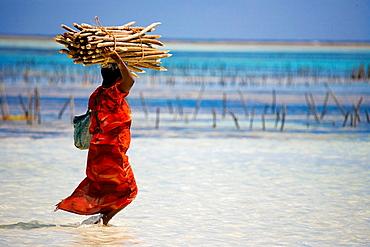 Zanzibar Woman Harvesting Seaweed in Kiwengwa Beach on the Eastern coast of Zanzibar Island in Tanzania.