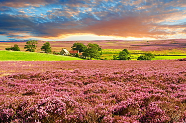 View of Danby Dale and and moors farm with heather flowering. North Yorks National Park, North Yorkshire, England.