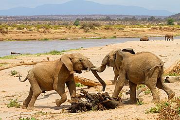 fighting African Elephants (Loxodonta africana), Samburu National Reserve, Kenya.