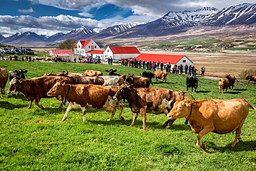 People watch as a dairy cows are set free to roam around after being locked inside, Akureyri, Iceland.