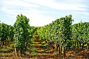 Vineyard of Saint-Emilion, Gironde, France, Europe.
