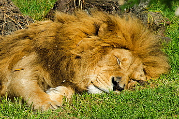 Sleepy African lion on a green gerass.
