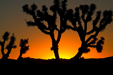 Silhouette of Joshua Trees (Yucca brevifolia) at sunset, Joshua Tree National Park, California USA.