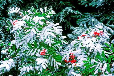 Fresh powder on Sitka mountain ash berries and western hemlock, Mount Rainier National Park, Washington USA.