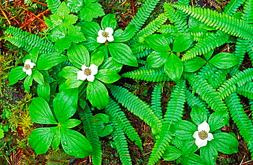 Bunchberry dogwood (Cornus canadensis) and sword ferns, Quinault Rain Forest, Olympic National Park, Washington USA.