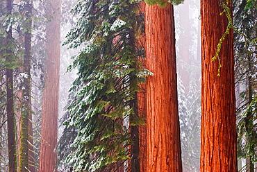 Giant Sequoias (Sequoiadendron giganteum) in winter, Giant Forest, Sequoia National Park, California USA.