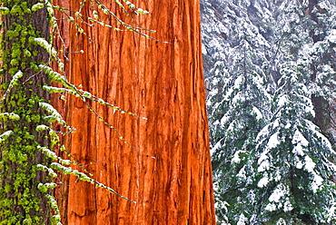 Giant Sequoia (Sequoiadendron giganteum) in winter, Giant Forest, Sequoia National Park, California USA.