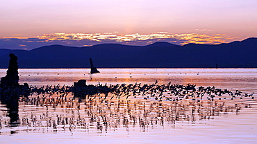 Flock of water fowl fly above water during sunrise at South Tufa, Mono Lake, California, United States of America.