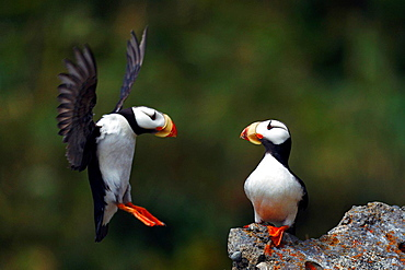 Horned Puffin (Fratercula corniculata) sitting on a rock watching another puffin attempt to land, Duck Island, Tuxedni Wilderness, Alaska Maritime National Wildlife Refuge, Alaska, United States of America.