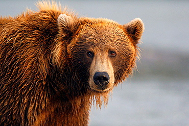 North American brown bear, coastal grizzly bear (Ursus arctos horribilis) sow fishes in Silver Salmon Creek, Lake Clark National Park, Alaska, United States of America.