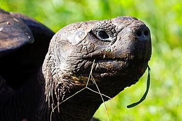 Male Galapagos tortoise, Gala°pagos giant tortoise (Chelonoidis nigra porteri), Galapagos Islands National Park, Santa Cruz Island Galapagos Ecuador.