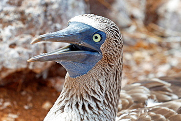 Detailed view of the head of a Blue-footed Boobie (Sula nebouxii) with opened beak, Galapagos Islands National Park, North Seymour Island, Galapagos, Ecuador.
