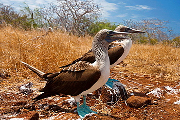 A pair of Blue-footed Booby (Sula nebouxii) seabirds standing next to each other, Galapagos Islands National Park, North Seymour Island, Galapagos, Ecuador.