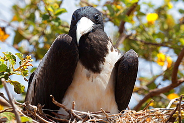 A juvenile Magnificent Frigatebird (Fregata magnificent) sitting in a nest Galapagos Islands National Park, North Seymour Island, Galapagos, Ecuador.
