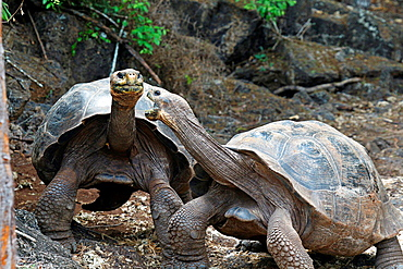 A pair of fighting Galapagos giant tortoises (Chelonoidis nigra), Charles Darwin Research Station, Galapagos Islands National Park, Santa Cruz Island, Galapagos, Ecuador.