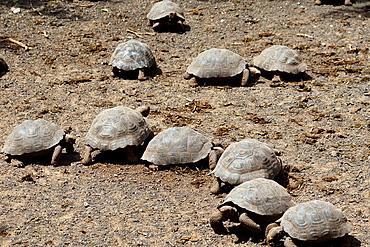 Several juvenile Galapagos Giant Tortoises (Chelonoidis nigra), at the Isabela Breeding Center 'Arnaldo Tupiza', Galapagos Islands National Park, Isabela Island, Galapagos, Ecuador.