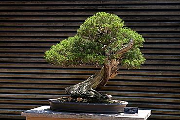 California Juniper (Juniperus californica) bonsai tree, The Huntington Library, Art Collection, and Botanical Gardens San Marino, California, United States of America.