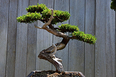 Prostrate Juniper, bonsai tree, The Huntington Library, Art Collection, and Botanical Gardens San Marino, California, United States of America.