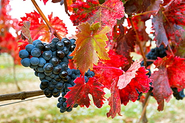 These are the last days of harvest in the Rioja region, the leaves on the vines are they changing its color to yellow and red tones, marking the arrival of autumn and the end of a crop cycle.