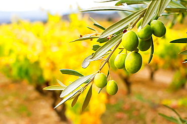 These are the last days of harvest in the Rioja region, the leaves on the vines are they changing its color to yellow and red tones.Olive trees are laden with green olives near to maturity.
