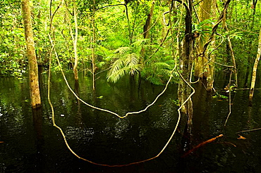 Vines in Flooded Forest, Rio Negro, Amazonia, Brazil