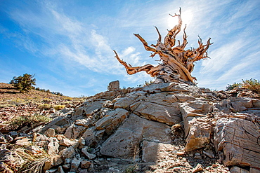 Bristlecone Pine, White Mountains, California