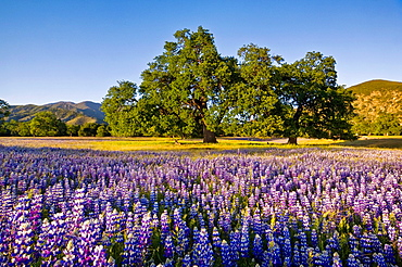Field of Lupine and Owl's Clover wildflowers in Spring, Ventana Wildernes, Los Padres National Forest, California.