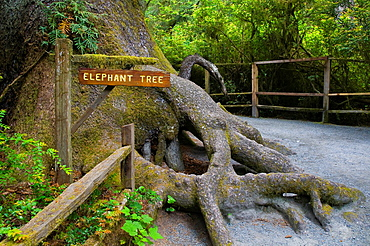 The Elephant Tree, on the Kingdom of the Trees Trail, Trees of Mystery, Del Norte County, California.