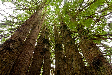 The Cathedral Redwood Tree, on the Kingdom of the Trees Trail, Trees of Mystery, Del Norte County, California.