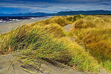 Native grasses on sand dunes along the coastal beach at Tolowa Dunes State Park, near Crescent City, California.