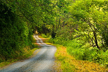 Rural dirt road through green trees and forest along the Coastal Drive, Redwood National Park, California.