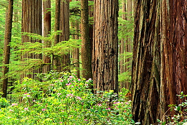 Redwood trees and Rhododendrons, Jedediah Smith State Park, California.