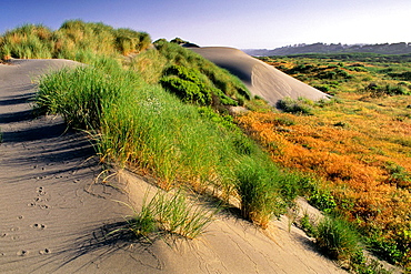 Sand Dunes and coastal grasses at Mad River Beach, Arcata, Humboldt County, CALIFORNIA.