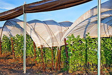 Field of raspberry bushes covered in Camarillo CA.