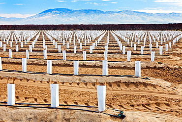 Field of young blueberry plants in winter at Kern Co.