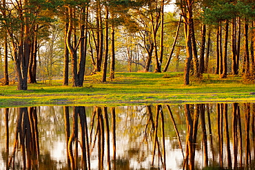 Pine grove by the river Narew. Early spring. Poland.