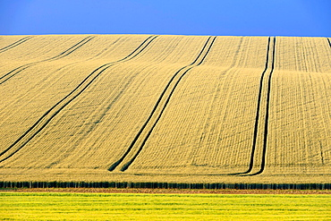 Field, winter wheat, Sinsheim, Baden-Wuerttemberg, Germany.