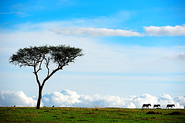 Grant's zebra and acacia tree (Equus burchelli boehmi), landscape, Masai Mara National Reserve, Kenya, Africa, October.