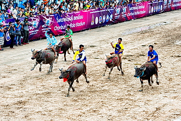 Running of the bulls. Water buffaloes racing with their jockeys at the Chonburi Buffalo Racing Festival, Thailand.