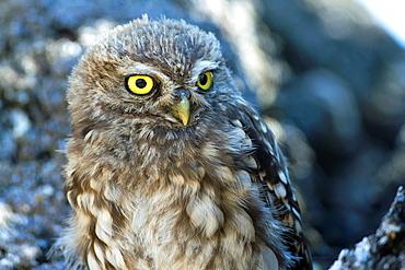 Little owl (Athene noctua) perched in a holm oak in Salamanca province. Castilla y León. Spain.